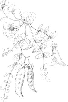 エンドウ豆のグラフィックイラスト手描き