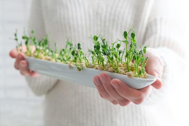 여자 손에 완두콩 마이크로 채소. 집에서 종자 발아. 성장하는 콩나물.