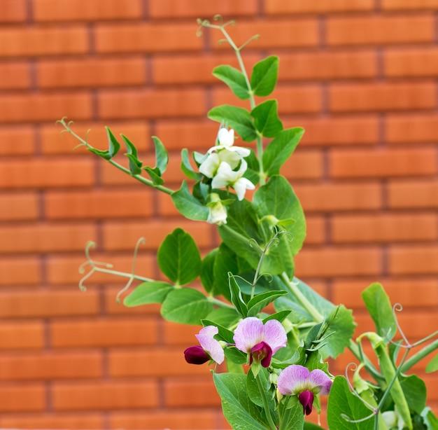 벽돌 벽의 배경에 꽃과 완두콩 공장. 정원에서 자라는 완두콩 식물(pisum sativum).