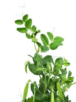 꽃과 꼬투리가 흰색으로 분리된 완두콩 식물. 정원에서 자라는 완두콩 식물(pisum sativum).