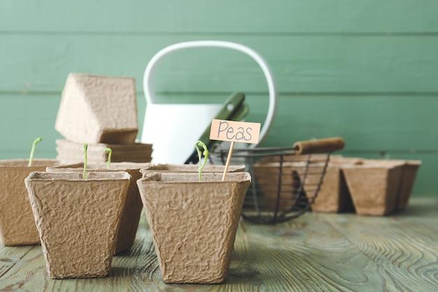 木製のテーブルの上の泥炭ポットのエンドウ豆の苗