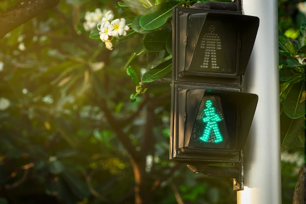 Pedestrian signals on traffic light pole. pedestrian crossing sign for safe to walk in the city. crosswalk signal. green traffic light signal on blurred background of plumeria tree and flowers.