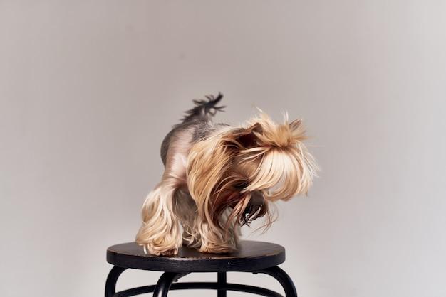 動物の分離された背景の血統の犬の髪型