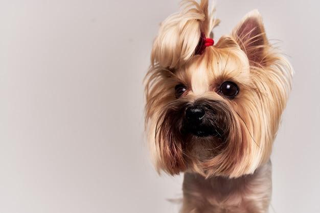 血統犬ペット子犬グルーミングスタジオ