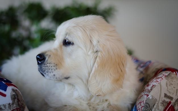血統犬の子犬の肖像画。