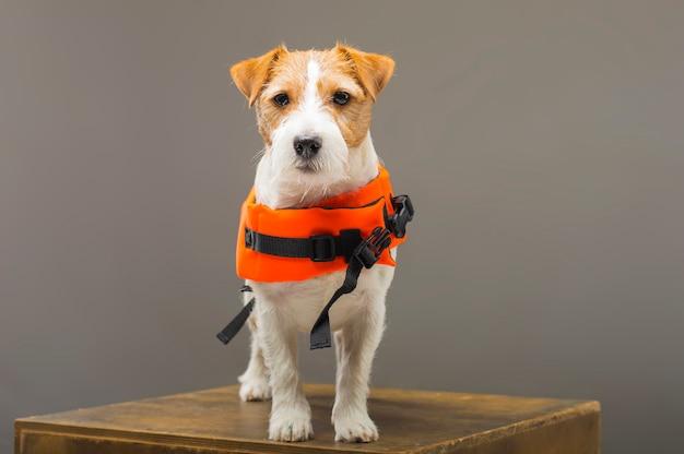 Породистый джек рассел в костюме спасателя малибу стоит на пьедестале в студии