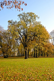 Pedunculate autumn oak species in mikhailovsky park