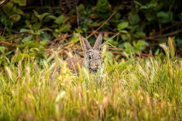 Peekaboo-草の中に座っている野生のワタオウサギ