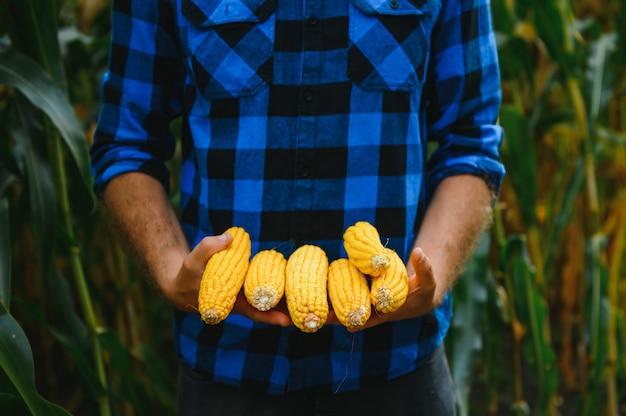 Peeled sweet corn cobs in farmer's hand on corn field background