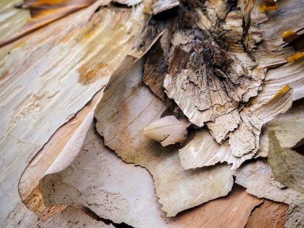 가을 자작나무 껍질 벗기기