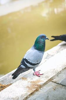 В городе, таиланде, обитали пегины или голуби.