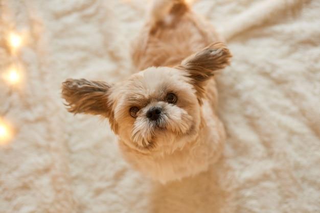 柔らかいカーペットの上で床に座って、屋内でポーズをとっているペキニーズ犬は、カメラを見て、側面に耳を突き刺している子犬、待っている所有者。