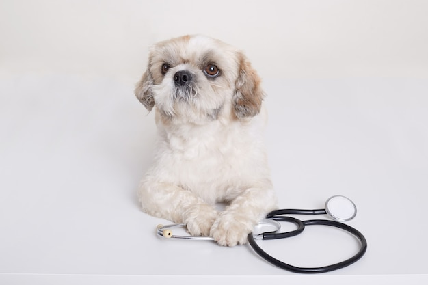 Pekingese puppy dog with stethoscope near his paws posing