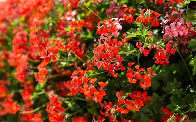 Pelargonium peltatum on flowerbed nature background