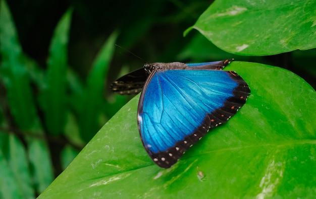 青いモルフォpeleides蝶