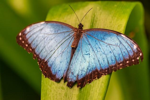 緑の葉に開いている翼を持つモルフォpeleides蝶
