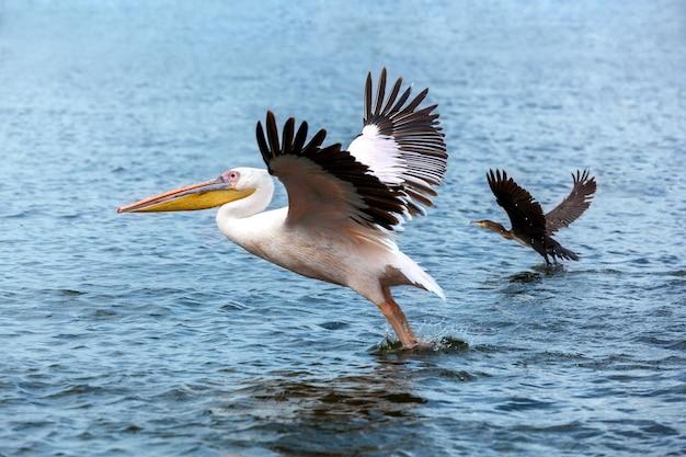 Пеликан и утка взлетают по озеру, большой белый пеликан ловит рыбу