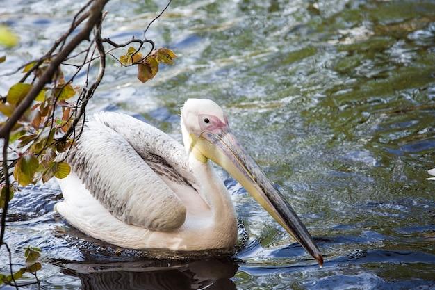 Пеликан в воде