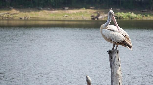 Птица пеликан стоит перед озером.