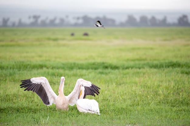 Пеликан птицы в зеленой траве стоя