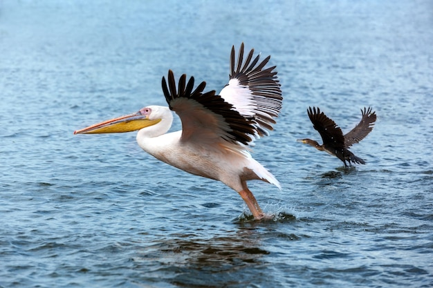 Pelican and duck taking off on lake, great white pelican catches fish