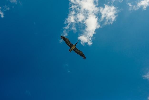 孤立したカリブ海の空を飛んでいるペリカン