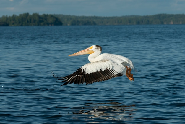 Pelican flying over a lake, lake of the woods, ontario, canada