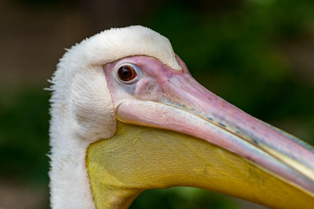 Голова пеликана, белая птица с большим желтым клювом.