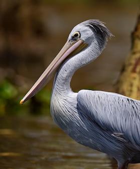 自然の生息地にいるペリカン。ケニア。ナイバシャ湖