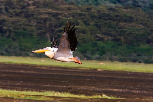 ペリカンが飛んでいます。ナクル、ケニア