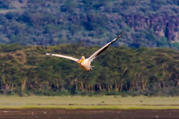 ペリカンはケニアのナクル湖の上を飛んでいます。