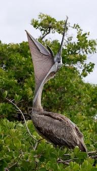 Пеликан сидит на мангровом дереве. морские птицы. галапагосские острова. эквадор.