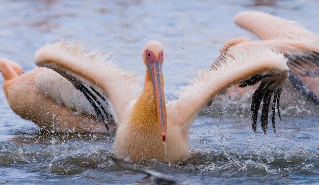ペリカンはすべてのスプレーで水中を泳いでいます。ナクル湖。ケニア。アフリカ。