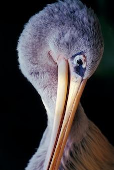 Pelican looking down