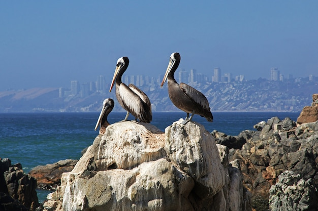 ビリャデルマール、チリの海岸にペリカン