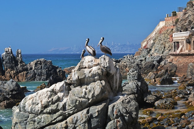Пеликан на побережье вина дель мар