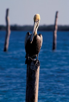 Pelican perching on piling, isla mujeres, mexico