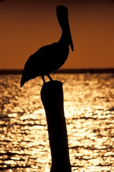 Pelican perching on piling at sunset, isla mujeres, mexico