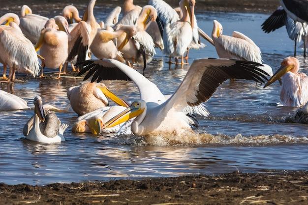 ペリカンは水の上に座っています。ナクル、ケニア