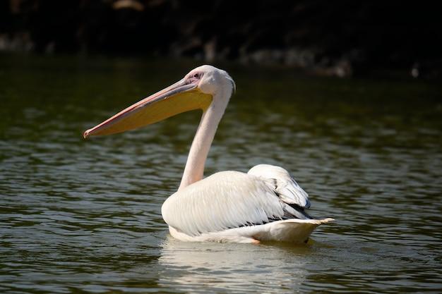 アフリカの湖で泳ぐペリカン