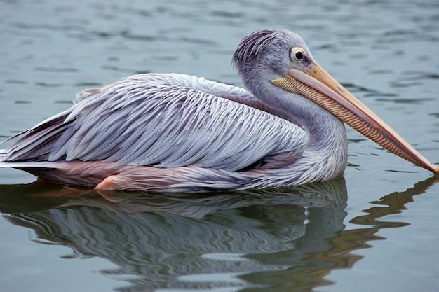 Pelican swimming in water