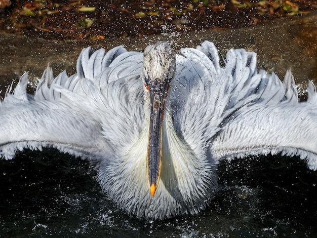 Пеликан плавает