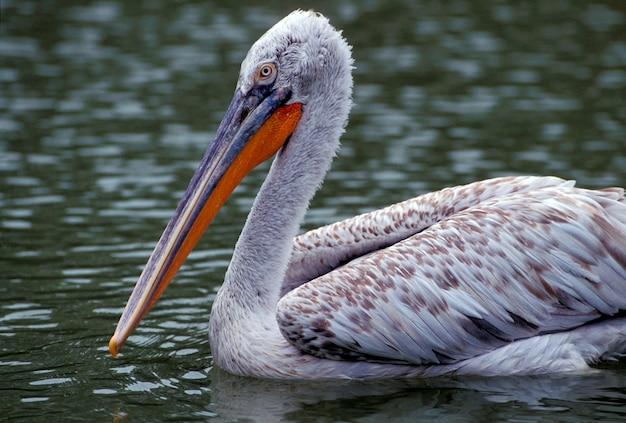 Pelican in water
