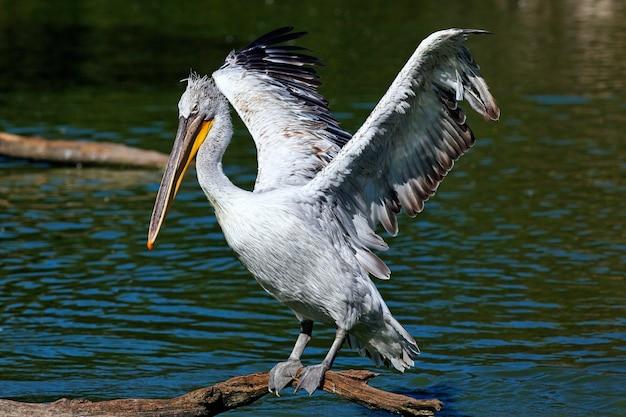 ペリカンの翼