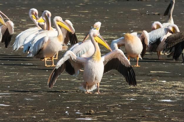 開いた翼を持つペリカン。ナクル、ケニア