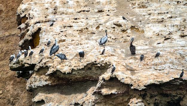Пеликаны и чайки на островах бальестас недалеко от паракаса в перу