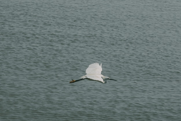Pelicans are flying above the water surface.