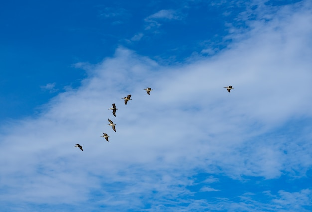 Pelicans flying together on blue sky in mayan riviera