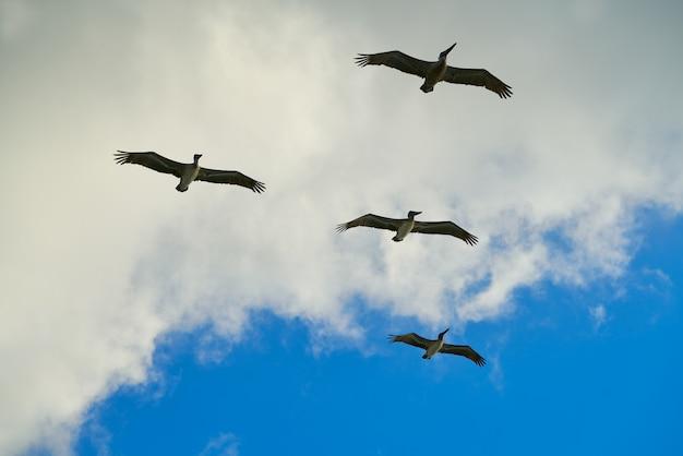 Pelicans flying together on blue sky