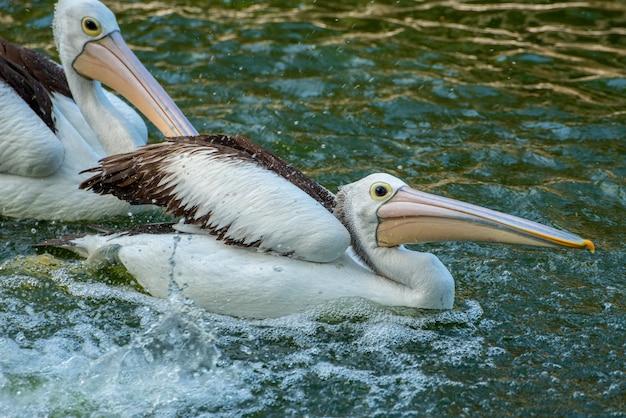 Пеликаны играют в пруду